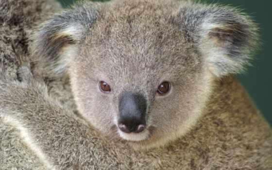 коала, медведь, desktop