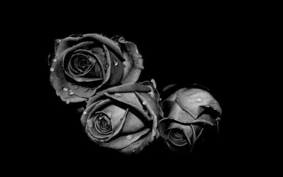 красивый, роза, white, drop, цветы, black, фон, see