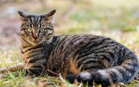 кот, полукровка, thoroughbred, отличаться, миро, эти, masterok, который, они, коты