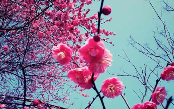 вишни, цвету, вишня, cherry, похожие, отправить, другу, iphone, blossoms, цветущая, cvety,