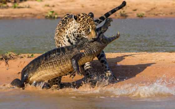 крокодил, ipad