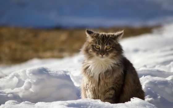 кот, снег, пушистый, winter, кошки, морда, browse,