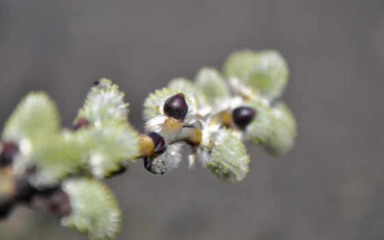 весна, верба, макро, images, cvety,