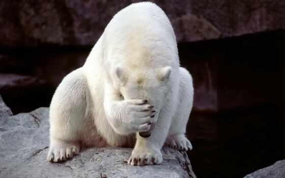 медведь, белый, белые