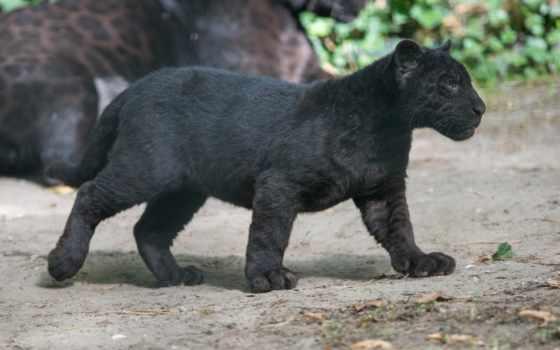 jaguar, пантера, black, кот, дикая,