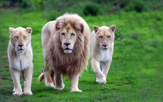 lion, львица, pride