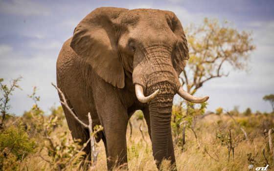 слон, free, high
