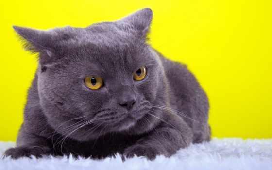 animal, кот, порода, взгляд, серьги