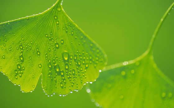 green, leaves, ginkgo, bidibidi, pictures, download, hintergrundbilder,