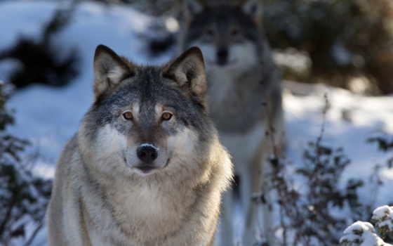 волк, макро