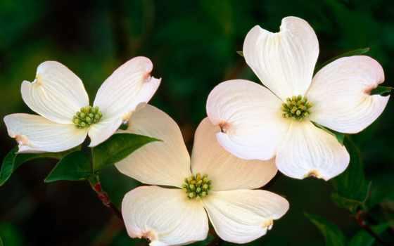 цветы, кизил,
