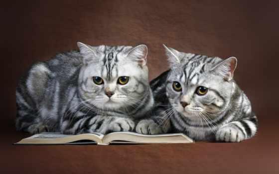кот, кошки, британские, zhivotnye, pair, книге, серый,