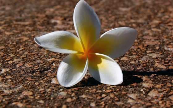 цветы, flowers, молотый, вектор, white, color, stephanotis,
