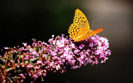 бабочка, насекомые, zhivotnye, природа, flowers, бабочки, garden,