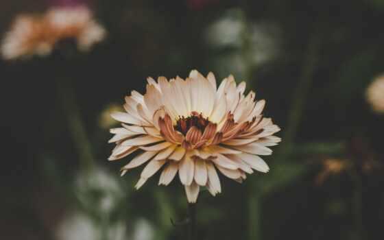 цветы, ноутбук, лепесток, взлёт, astra, картинка, бутон, качественные, free