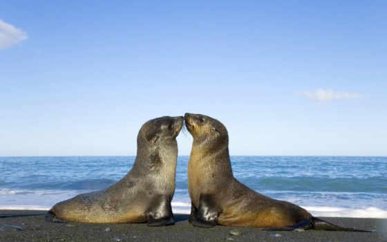 тюлени, целуются, zhivotnye, морские, коллекция, desktopwallpapers, картинок,