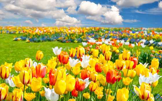 cvety, priroda, pole, тюльпаны, vesna, пейзаж, oblaka, kartinka,
