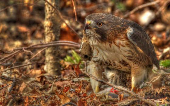 hawk, птица, хищник, buzzard, краснохвостый, листва,