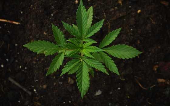 конопля, листва, растение, ветви, свет, browse, cannabis, home,