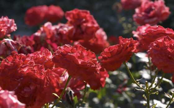 роза, цветы, sectional, bush, garden, raspustit, большой, one, famous
