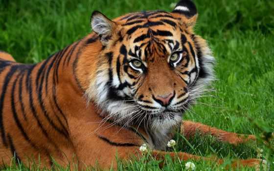 тигр, морда Фон № 19446 разрешение 2560x1600