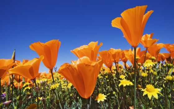 цветы, оранжевые, маки