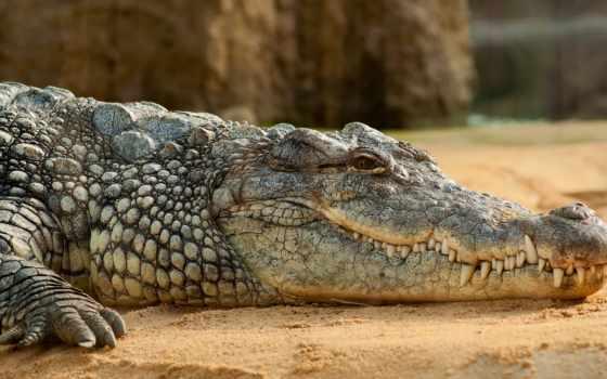 ,крокодил, песок, животные, зубы,