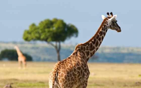 австралия, животные, африка