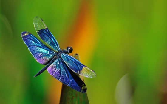 макро, стрекоза, насекомые, стрекозы, трава, фото,