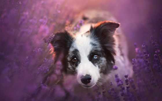 border, колли, собаки, взгляд, zhivotnye, lavender, картинка,