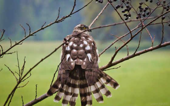 falcon, images, перепелятник, world, birds, prey, mobile,