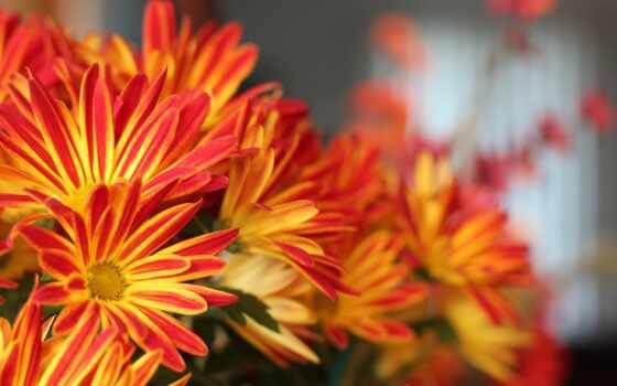 цветы, red, yellow, фон, букет, chrysanthemum, размытость, chrysanth, оранжевый, makryi, shirokoformatnyi
