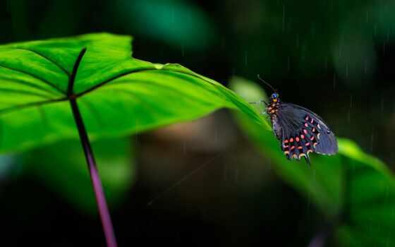 atala, бабочка, дождь, лист, leaf, makryi, природа, хороший, narrow, focus