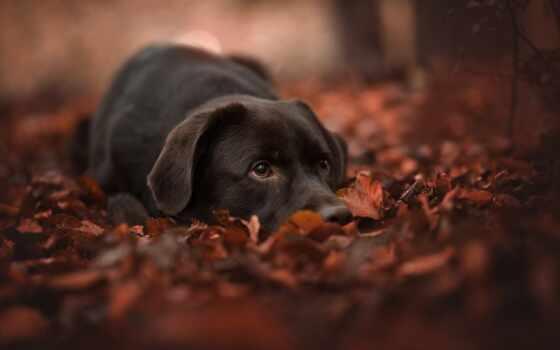 собака, взгляд, pritaitsya, retriever, хаска, haghui, лист, осень, labrador, котенок