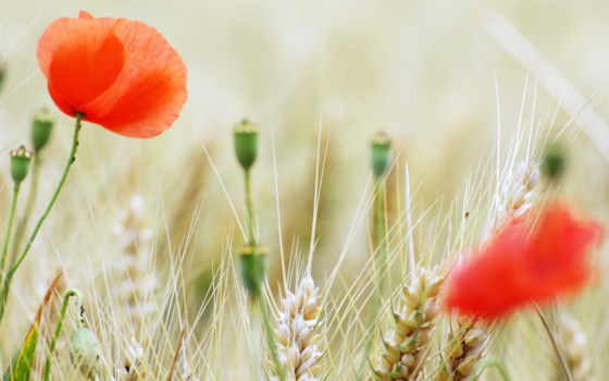 маки, поле, summer
