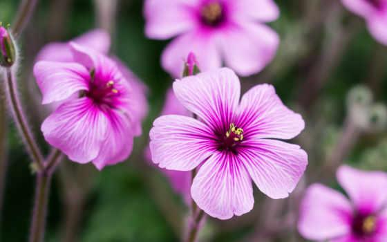 цветы, розовые, лепестки
