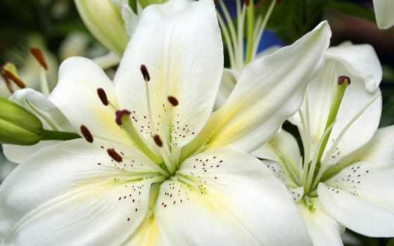лилии, white, лилии