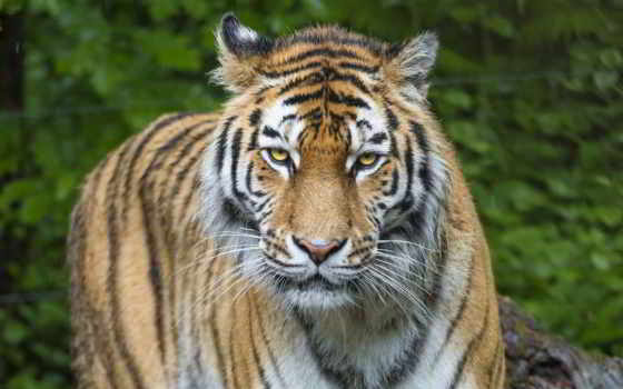 тигр, animal, free