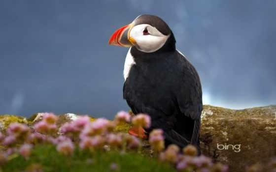 тупик, атлантический, размытость, трава, птица, fratercula, zhivotnye, размножения, период, попугай, море,