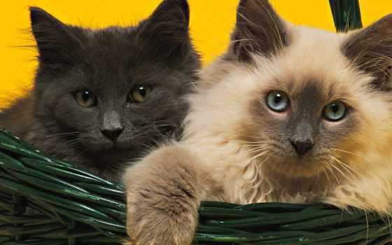 пушистые, котики, кошки