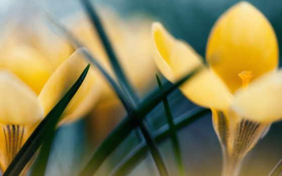 крокус, yellow, цветы, природа, iphone, desktop, flowers, md, papers,