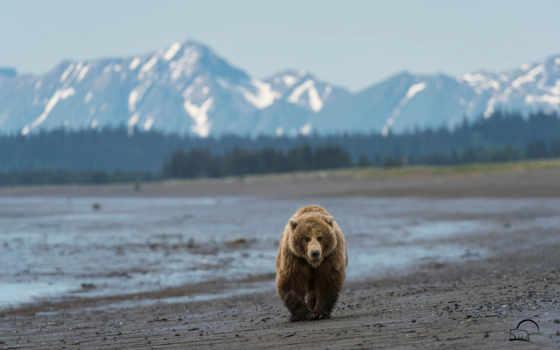 медведь, горы, аляска, мишка, пляж, браун, zhivotnye, медведи,