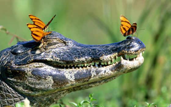 крокодил, взгляд, nice