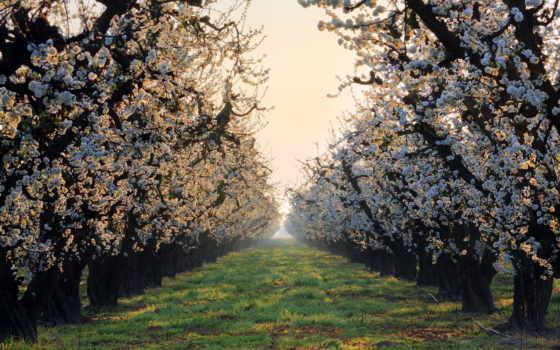 цветущих, деревьев, аллея, весной, trees, cvety, природа, landscape,