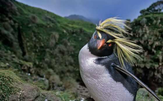 пингвин, хохлатый, north, рассказать, пост, есть,