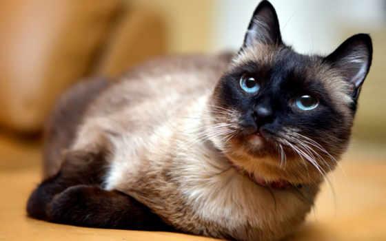 кот, сиамский, этом