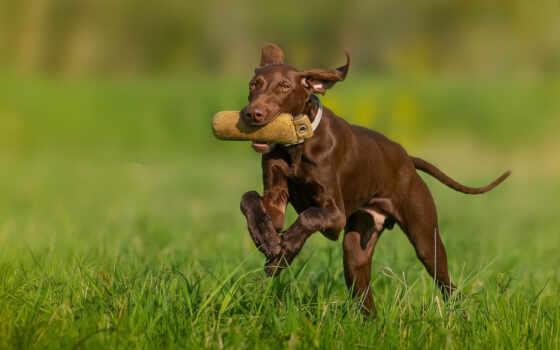 собака, поезд, щенок, vizsla, hunt, порода, tapety, браун, хаски, pet, hungarian