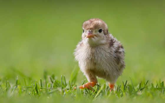 цыплята, животные, трава