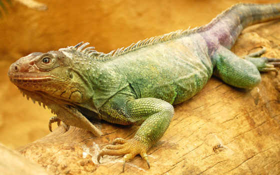 iguana, ящер