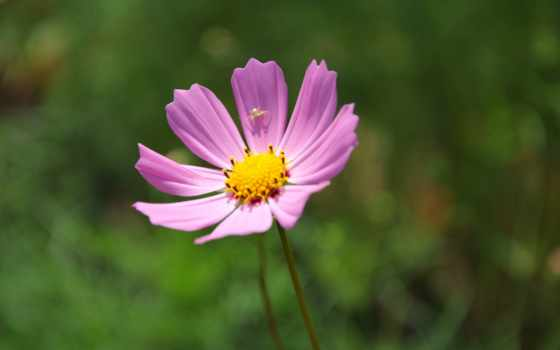 цветы, бархатцы, flowers, паук, космея, лепестки,